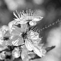 Kirschblüte 359