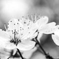 Kirschblüte 264