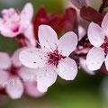 Kirschblüte 273