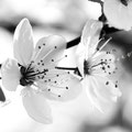 Kirschblüte 262