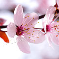 Kirschblüte 259