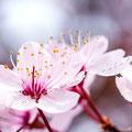 Kirschblüte 263