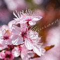 Kirschblüte 358