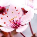 Kirschblüte 265