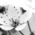 Kirschblüte 266
