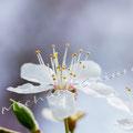 Kirschblüte 267