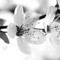 Kirschblüte 260