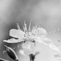 Kirschblüte 268