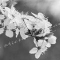 Kirschblüte 272