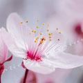 Kirschblüte 269