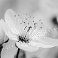 Kirschblüte 270