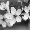 Kirschblüte 274
