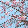 ❀ しだれ八重桜