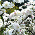 ❁ 桃の花