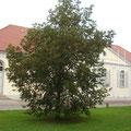 Diese Linde auf dem Franz-Parr-Platz erinnert an die Erneuerung der Städtepartnerschaft Güstrow-Neuwied am 09.05.1992