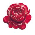 Rosenkopf rot