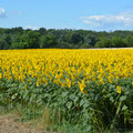 """Felder in voller """"Pracht"""" und """"Blüte"""""""