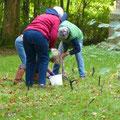 Bordesholmer LandFrauen, Krokusse pflanzen im Oktober 2021