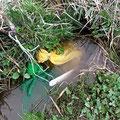 「泥水消毒」が済んだら、田んぼの湧き水に漬け、