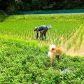 稲が他の草草に負けないで、
