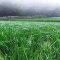 田んぼ中に張りめぐる蜘蛛の巣や、稲の根っこを切らない様に、除草作業は終了します。
