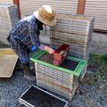 自然栽培での種籾蒔きにおける最も重要なポイントは「薄播き」にすることです。