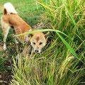 秋の実りの時期には、犬の臭いでイノシシやシカを警戒させます。
