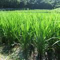 稲が大きくなり足下に日陰が出来る様になれば、新しい草の芽はもう出て来ません。