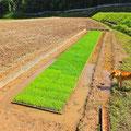 無肥料で育つ苗の色は、うっすらと黄緑色です。