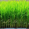 無肥料で育つ苗の成長は、ゆっくりです。