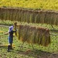 平成26年度 はさ掛け天日干しの作業風景。