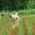田んぼの水の中で動き回る生き物たちに、じゃれついて遊ぶ雷(ライ)。