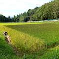 平成27年度 早生種の古代米「緑米」の稲刈り。