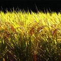 登熟して、黄金色に輝く自然栽培朝日米。