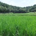 後は、田んぼの外から稲の生育を見守ります。