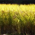 光輝く自然栽培朝日米。