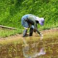 最後は、手植えで補植しますが、自然栽培の稲は分けつ数が多いので、植える苗の本数は1本か2本で充分です。