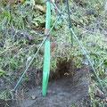 苗木に鹿避けネットと3本の支柱