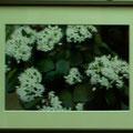 門田敏男:植物と景色⑤ クラッスラ(金のなる木)