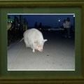 竹田辰興:動物達① 夜道の豚