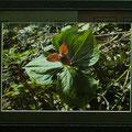 門田敏男:植物と景色③ エンレイ草