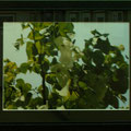 門田敏男:植物と景色② ハンカチの木