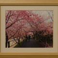 高橋邦夫:河津桜