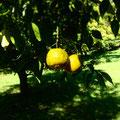 カフェの裏庭には柚子の実が黄色く色づいてます