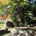 沢井マウンテンカフェの庭には樹齢200年のモミジの木があります