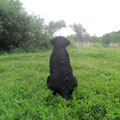 Лабрадор ретривер щенок