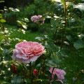Diese großartige Rose (Pirouette) blüht immer weiter