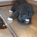 Teddy - Zuhause in Österreich gefunden