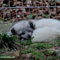 ... wir Polarfüchse brauchen unseren Schönheitsschlaf