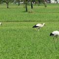 Rhein-Land mit allerlei Getier: Storch ...
